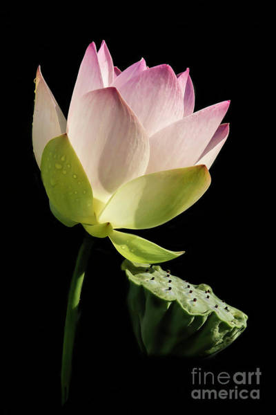 Wall Art - Photograph - Lotus Basking In The Sun by Sabrina L Ryan