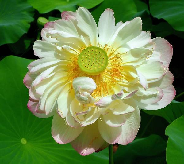 Wall Art - Photograph - Lotus Blooming Bright by Alida M Haslett