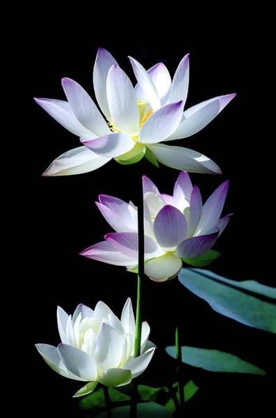 Nymphaea Lotus Photograph - Lotus Blooms by Julie Palencia