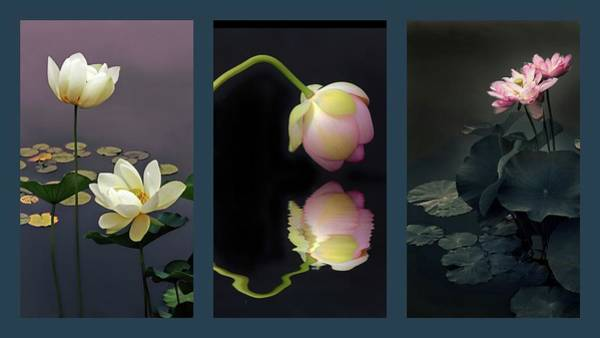 Lotus Pond Photograph - Lotus Blossom Triptych by Jessica Jenney