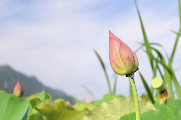 Wall Art - Photograph - Lotus Bud by Vii-photo