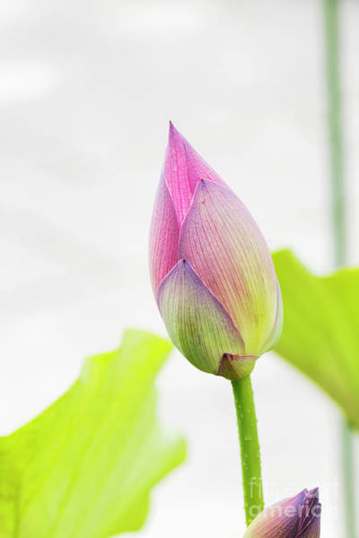 Wall Art - Photograph - Lotus Flower Bud by Tim Gainey