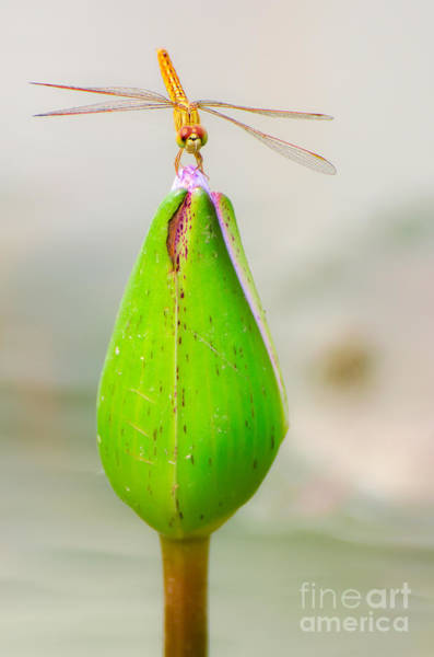 Pink Lotus Flower Photograph - Lotus Flower Dragonfly by Here Asia