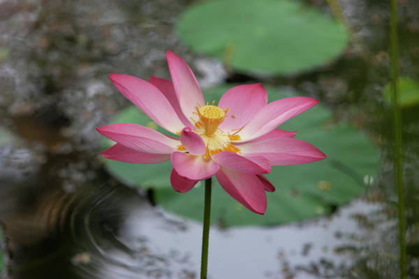 Kerala Photograph - Lotus Flower In A Pond by Martin Child