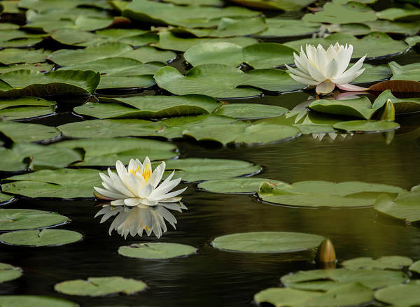 Photograph - Lotus Flowers A Panorama by Jim Dollar