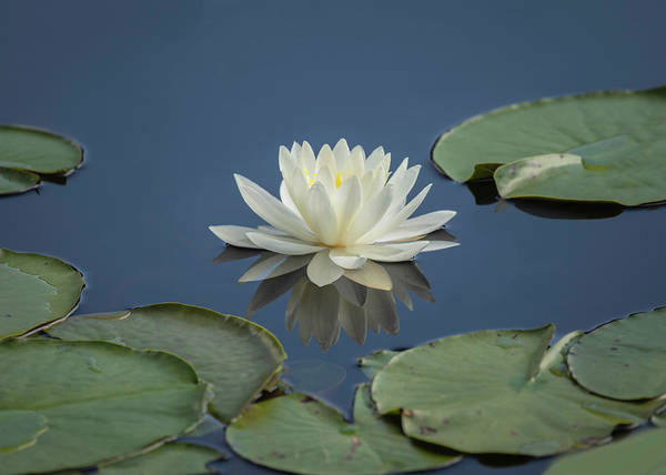 Photograph - Lotus Flowers B by Jim Dollar