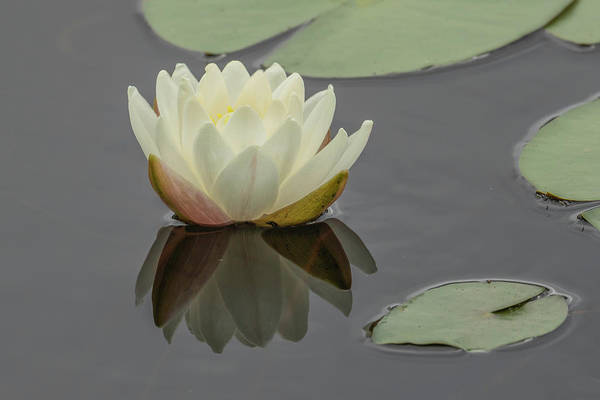 Photograph - Lotus Flowers C by Jim Dollar