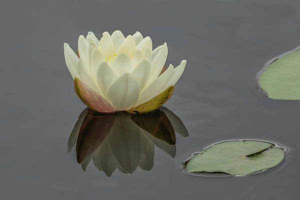 Photograph - Lotus Flowers D by Jim Dollar
