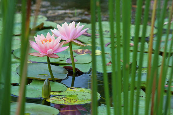 Wall Art - Photograph - Lotus Flowers In Pond by Richard I'anson
