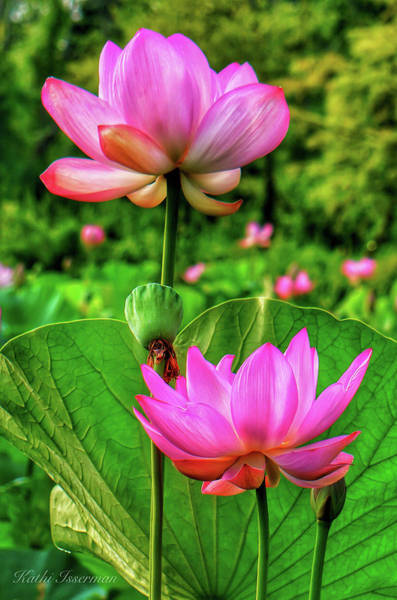 Wall Art - Photograph - Lotus Garden by Kathi Isserman