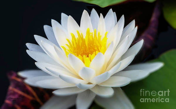 Water Lillies Photograph - Lotus Gold by Marvin Spates