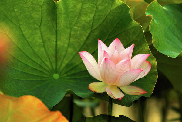 Single Leaf Wall Art - Photograph - Lotus by Hung Chei