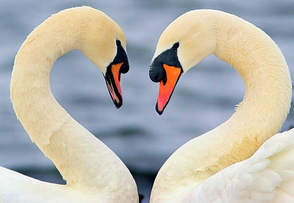 Swan Neck Photograph - Love Swans by Darren Stone