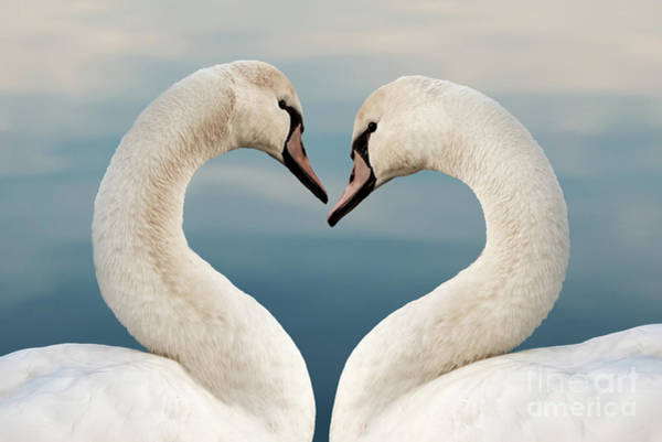 Wall Art - Photograph - Love Swans by Delphimages Photo Creations