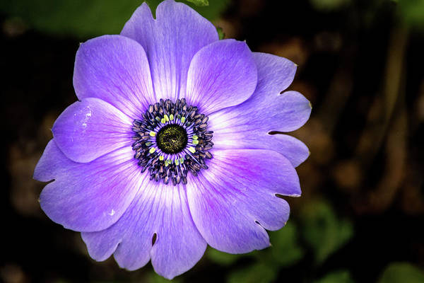 Photograph - Lovely Anemone by Don Johnson