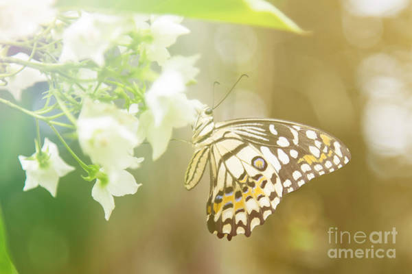 Lovely Butterfly On White Flowers With Art Print