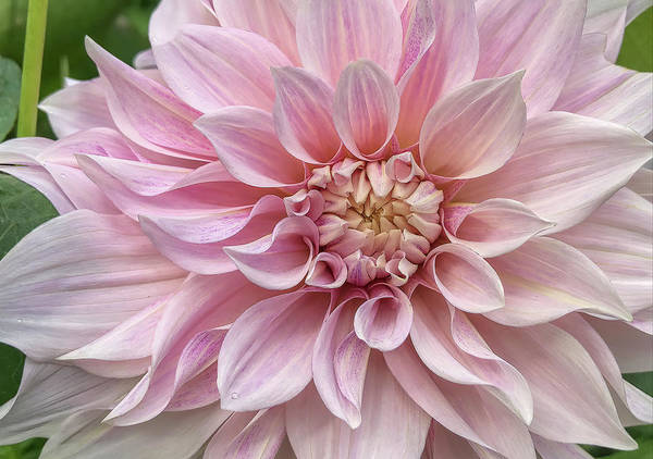 Photograph - Lovely Dahlia by Claire Turner