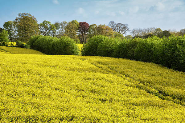 Wall Art - Photograph - Lovely Landscape Image Of Rapeseed Canola Field In Beautiful Sof by Matthew Gibson