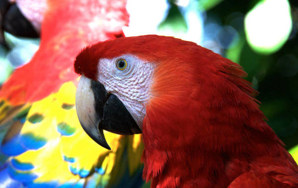 Photograph - Lovely Red Parrot by David Resnikoff