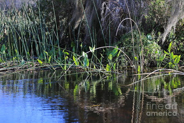 Photograph - Lovely Swamp by Carol Groenen