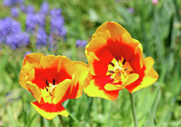 Photograph - Lovely Yellow And Red Tulips by Trina Ansel