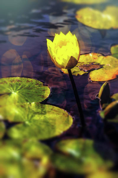 Wall Art - Photograph - Lovely Yellow Pond Lily by Garry Gay