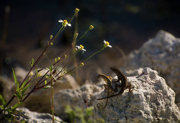Brown Anole Wall Art - Photograph - Lovers Under The Flowers by Zina Stromberg