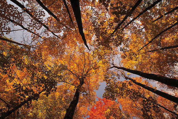 New England Autumn Photograph - Low Angle View Looking Up Autumn by Comstock