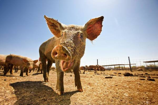 Pigpens Photograph - Low Angle View Of A Pig Smiling In A by Tyler Stableford