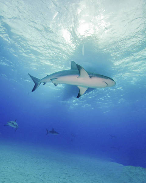 Photograph - Low Angle View Of A Reef Shark by Brent Barnes