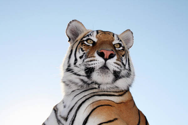 Carnivora Photograph - Low Angle View Of A Tiger Panthera by Jv Images