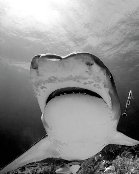 Wall Art - Photograph - Low Angle View Of Mouth Of Tiger Shark by Brent Barnes