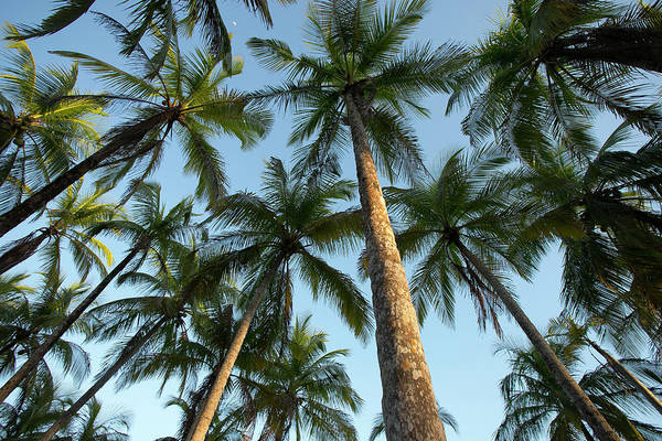 Carrillo Photograph - Low Angle View Of Palm Trees, Playa by Panoramic Images