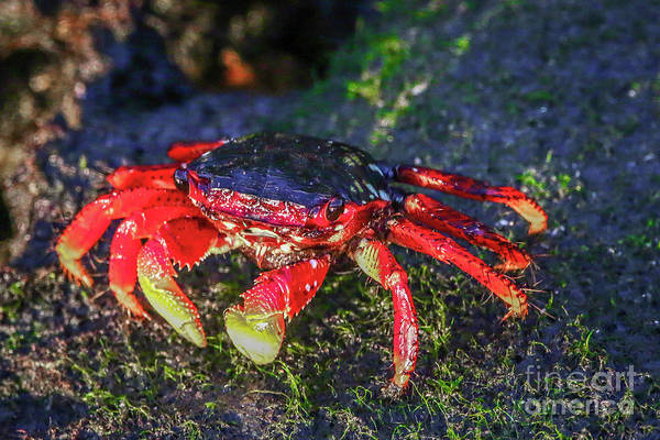 Photograph - Low Tide Crab by Tom Claud