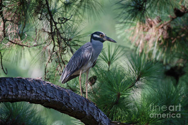 Photograph - Lowcountry Birds - Yellow Crowned Night Heron by Dale Powell