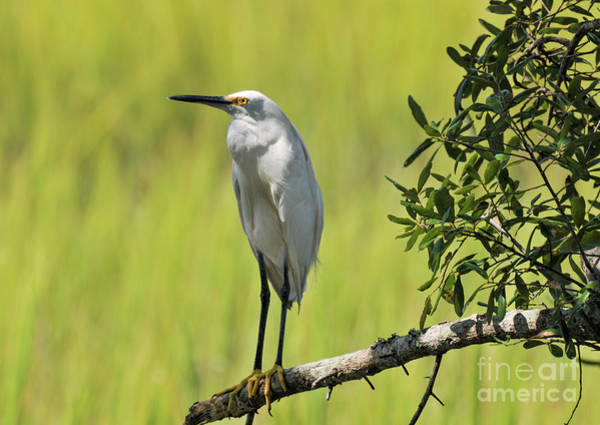 Photograph - Lowcountry Marsh Heron  by Dale Powell