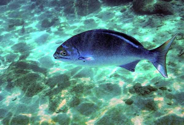 Photograph - Lowfin Chub by Anthony Jones