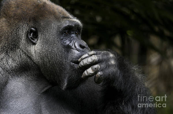 Wall Art - Photograph - Lowland Gorilla On The Epic Pose Of by Dptro
