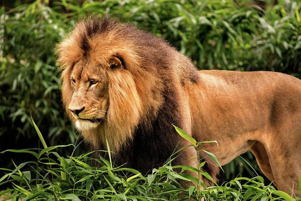 Photograph - Luke The Lion II by Don Johnson
