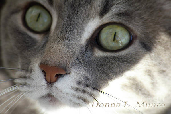 Photograph - Lulu The Marble Gray Tabby by Donna L Munro