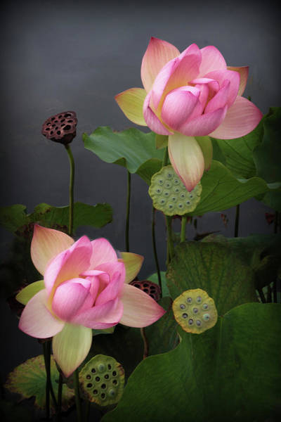 Pink Lotus Flower Photograph - Luminescent Lotus by Jessica Jenney