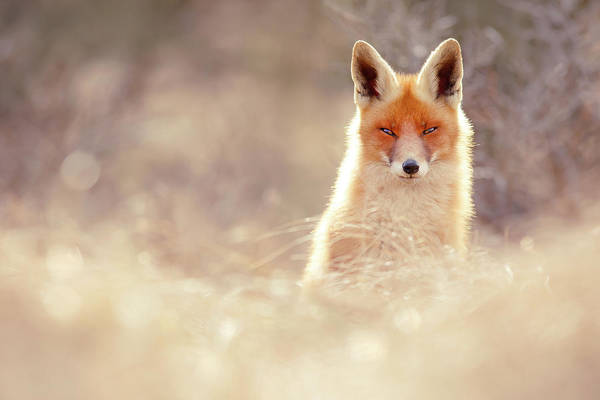 Wall Art - Photograph - Luminous Fox by Roeselien Raimond