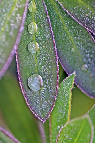Lupin Leaves And Waterdrops Art Print