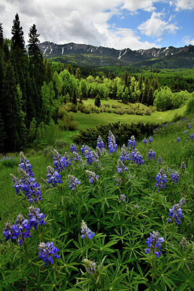 Photograph - Lupine Along Big Cimarron Road by Ray Mathis
