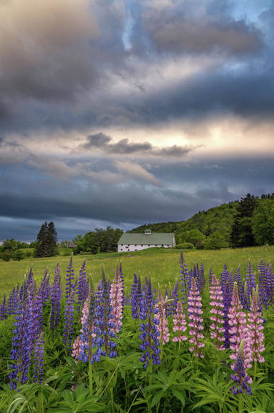 Photograph - Lupine Barn by Darylann Leonard Photography
