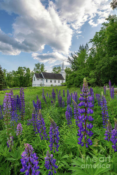 Photograph - Lupine Bloom At Sugar Hill by Jesse MacDonald