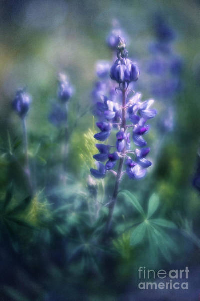 Wall Art - Photograph - Lupine Blues by Priska Wettstein