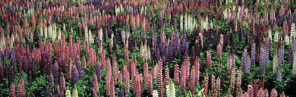 Wall Art - Photograph - Lupine Field by Panoramic Images