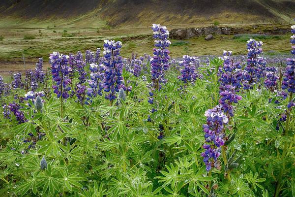 Photograph - Lupine Iceland 6261901 by Rick Veldman