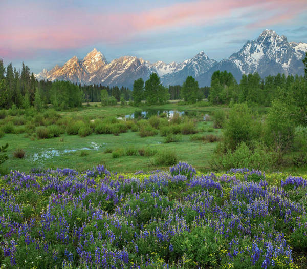 Photograph - Lupine In Meadow, Grand Teton National by Tim Fitzharris